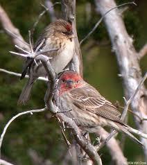 Nc Backyard Birds Common Redpoll Carduelis Flammea Ocracoke Hyde Co Nc
