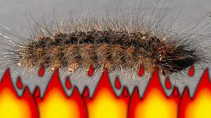 stinging caterpillar becomes ant colony food flamethrower pest