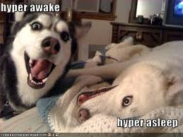 Hyper Dog Meme - huskies only have one speed i has a hotdog dog pictures funny