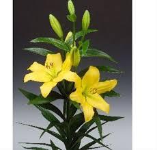 flowers nashville nashville l a hybrids lilies flowers by category