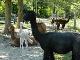 roaming rita city goes country alpaca farm and christmas