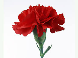 red carnation google search red flowers pinterest red