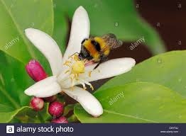 lemon tree citrus limon bumble bee perched on a blossom stock