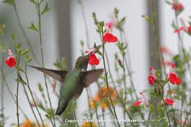 Hummingbird Plant Hummingbird Plants For The Northeast Janet Davis Explores Colour