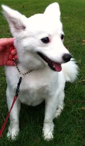 care for american eskimo dog best 25 toy american eskimo ideas on pinterest american eskimo