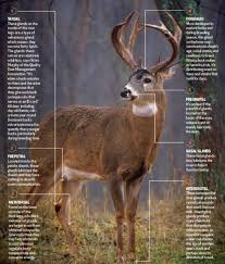 deer anatomy lesson how buck scent glands really work outdoor