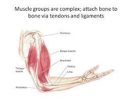 Biceps Reflexes Motor Systems Muscles And Joints Muscles Moving The Spinal Cord