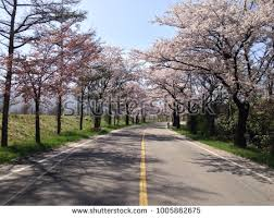 cherry blossom trees along side road stock photo 1005862675