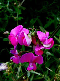 Sweet Pea Images Flower - pea flower free pictures on pixabay