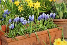 how to care for flower bulbs after they bloom