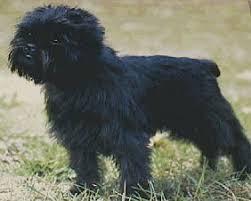 affenpinscher and chihuahua affenpinscher dog breed information puppies u0026 pictures