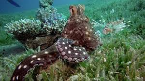 octopus tickled by fish youtube