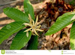 Tropical Fragrant Plants Champaca Stock Image Image Of Tropical Tree Hybrids 92842081