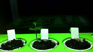 time lapse u2013 oranges and lemons growing in click and grow smart