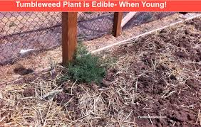 tumbleweed is edible spinach alternative the foodie gardener