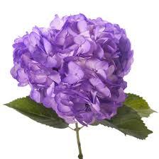 purple hydrangea petite bulk hydrangea types of flowers