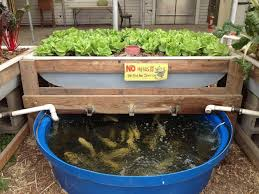 Backyard Fish Farming Tilapia Aquaponics Fish Learn More Tips At Www Aquaponicsguide Com