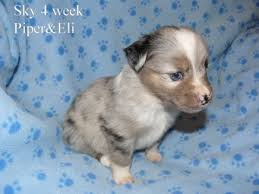 australian shepherd 4 weeks old puppy pictures kicks and giggles mini aussies