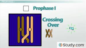 meiosis i stages prophase i metaphase i anaphase i u0026 telophase