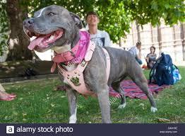 american pitbull terrier uk law dangerous dogs act stock photos u0026 dangerous dogs act stock images