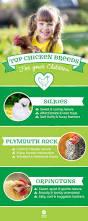 best 20 breeds of chickens ideas on pinterest hens chicken