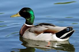 the meaning and symbolism of the word duck