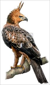javan hawk eagle nisaetus bartelsi line art and full color