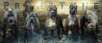 american pitbull terrier dog price pryme tyme kennels xl blue pit bull and xl bully pups for sale