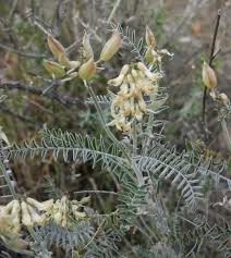 native southern california plants southern california locoweed native plants csu channel islands