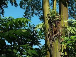 Eucalyptus Trees Rainbow Eucalyptus Tree See Rainbow Trees On Maui Tour
