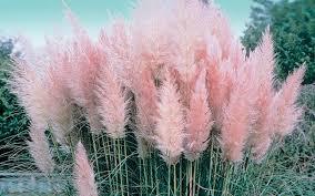 buy pink pas grass 3 gallon perennial grasses buy plants