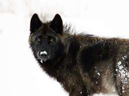 belgian sheepdog club of the rockies timeline wolves in danger earthjustice