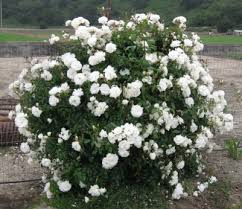 White Roses For Sale The Green Rose Rosa Chinensis Viridiflora Heirloom Rose Flower