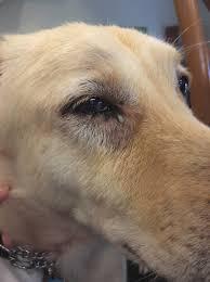 corneal ulcer u2013 mount pleasant veterinary group