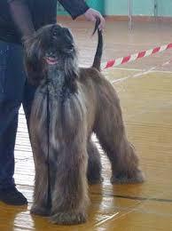 afghan hound national dog show sunward afghans news 2012