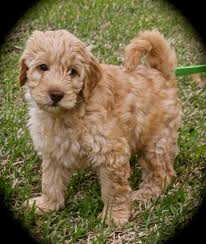 australian shepherd labradoodle about australian labradoodle lakes wallpaper with puppy pictures