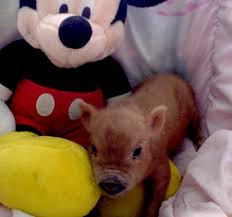 teacup pigs pocket pigs miniature pigs micro mini pigs for sale