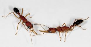 mutant ants provide insights into social interaction asu now