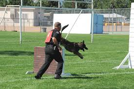 belgian shepherd el paso k9 unit el paso county sheriff
