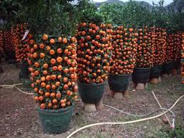 live indoor plants cinnabar orange bonsai tangerine bonsai live trees indoor plants