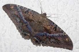 black witch moth butterfly of