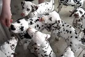 dalmatian puppies mob jar peanut butter
