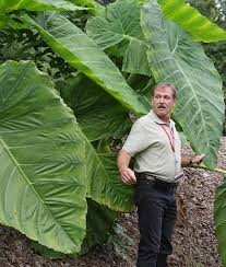 cool colocasias elephant ears for the garden article by plant