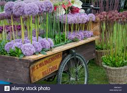 allium flowers allium flowers in a wooden cart display at a flower show uk stock