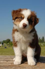 movies with australian shepherds best 25 red tri australian shepherd ideas on pinterest aussie