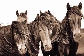 Horse Murals by The Wild Horses Of Sable Island Roberto Dutesco 9783832798499