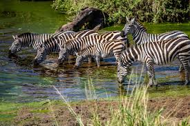 baby zebra at watering hole in serengeti national park green