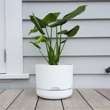 monstera deliciosa cool indoor plant plantandpot nz