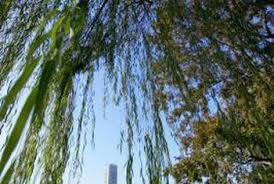 how to kill an established weeping willow home guides sf gate