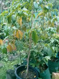 edible australian native plants my edible fruit trees coffee plants qld